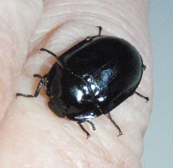 Bug , 5 Pictures Of Beetles Bugs : Black Beetle