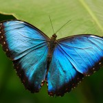 Blue Morpho butterfly photo , 6 Blue Morpho Butterfly Species Photos In Butterfly Category