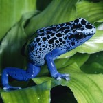 Blue Poison Dart Frog , 6 Poisonous Dart Frog In Amphibia Category