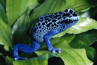 Blue Poison Dart Frog in Spider