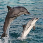 Bottlenose Dolphin Facts for Kids , 6 Bottlenose Dolphin Facts For Kids In Mammalia Category