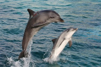 Bottlenose Dolphin Facts for Kids in Cat