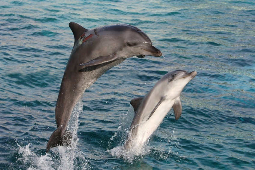 Bottlenose Dolphin Facts for Kids
