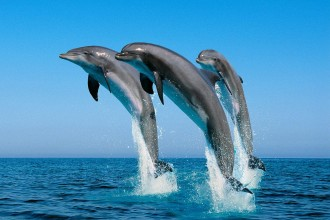Bottlenose Dolphins , 6 Bottlenose Dolphin Facts For Kids In Mammalia Category