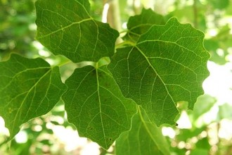 British Tree Leaves in pisces