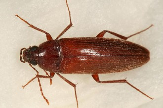 Brown Beetle in Invertebrates