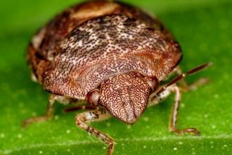 Brown Beetle Photo , 6 Brown Beetle Bugs In Bug Category