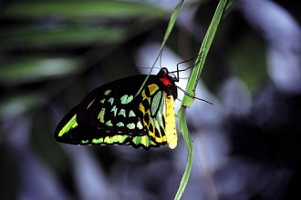 Cairns Birdwing Butterfly in Spider