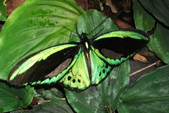 Cairns Birdwing Butterfly Images , 8 Cairns Birdwing Butterfly Facts In Butterfly Category