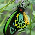 Cairns Birdwing Butterfly picture , 8 Cairns Birdwing Butterfly Facts In Butterfly Category