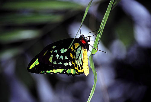 Butterfly , 8 Cairns Birdwing Butterfly Facts : Cairns Birdwing Butterfly