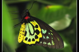 Cairns Birdwing Photo , 8 Cairns Birdwing Butterfly Facts In Butterfly Category