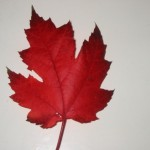 Canadian Maple Leaf , 7 Maple Leaf Photos In Plants Category