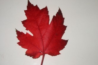 Canadian Maple Leaf in Dog