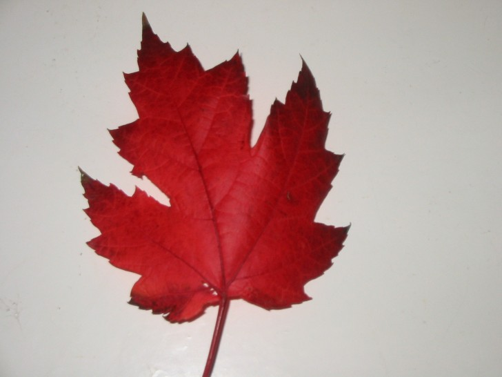 Plants , 7 Maple Leaf Photos : Canadian Maple Leaf
