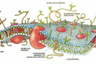 Cell Membrane Drawing , 6 Pictures Of Cellular Membrane In Cell Category