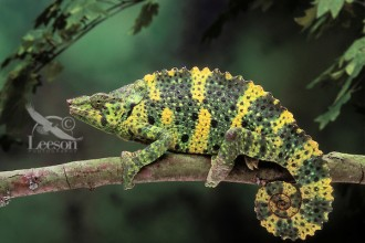 Chamaeleo Triceros , 6 Mellers Chameleon Photos In Reptiles Category
