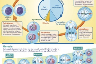Chart Of Meiosis , 8 Meiosis Internet Lesson In Cell Category