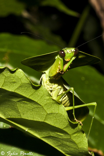 Orthoptera , 6 Pictures Of Leaf Mantis : Choeradodis Sp.