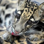 Clouded Leopard , 7 Clouded Leopard Facts In Mammalia Category