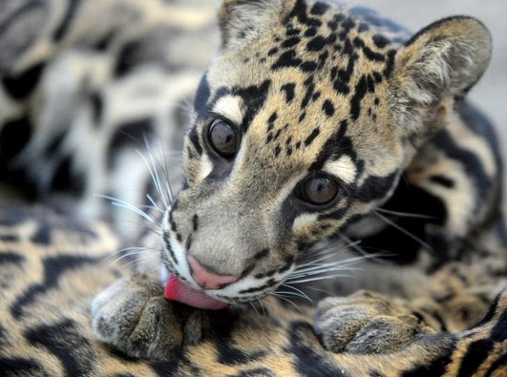 Mammalia , 7 Clouded Leopard Facts : Clouded Leopard