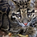 Clouded Leopard Cub , 7 Clouded Leopard Facts In Mammalia Category