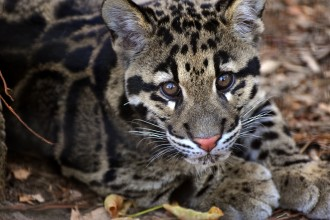 Clouded Leopard Cub , 7 Clouded Leopard Facts In Mammalia Category