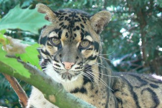 Clouded Leopard Photo , 7 Clouded Leopard Facts In Mammalia Category