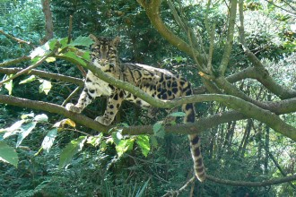 Clouded Leopard Picture , 7 Clouded Leopard Facts In Mammalia Category