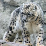 Commons Snow Leopard , 7 Pics Of Snow Leopards In Mammalia Category