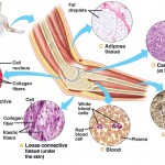 ConnectiveTissue , 7 Tissue Pictures In The Human Body In Cell Category