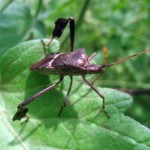 Control Measures Leaf Footed Bugs , 6 Leaf Footed Bug Controls In Bug Category