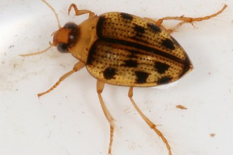 Crawling Water Beetle , 6 Water Bug Beetle In Bug Category