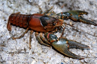 Crayfish Facts , 6 Crayfish Images In Decapoda Category