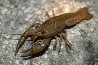Crayfish Photo , 6 Crayfish Images In Decapoda Category