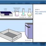 Create a DNA Fingerprint , 5 Dna Fingerprinting Nova In Genetics Category