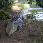 Crocodylus porosus , 6 Saltwater Crocodile Facts In Reptiles Category