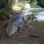Crocodylus porosus , 6 Saltwater Crocodile Facts In Reptiles Category