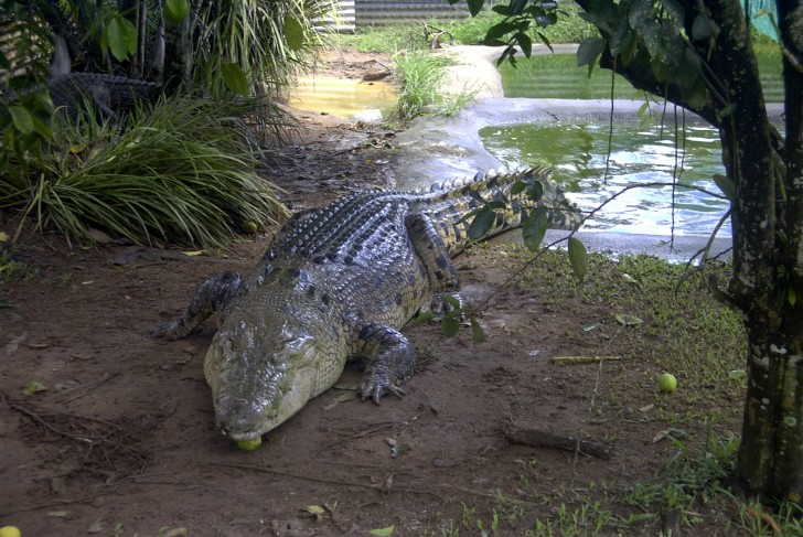 Reptiles , 6 Saltwater Crocodile Facts : Crocodylus Porosus