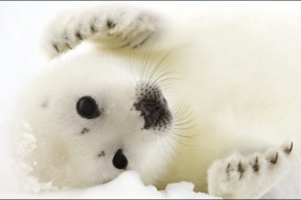 Cute Harp Seal , 6 Harp Seal Facts For Kids In Mammalia Category