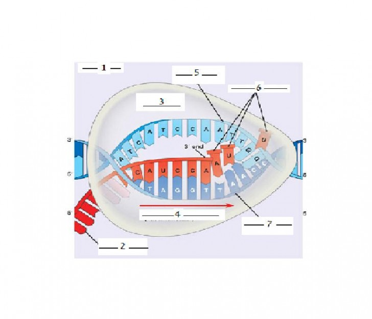 Cell , 7 Rna Quiz : DNA RNA Protein Synthesis