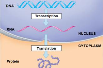 DNA Splits , 6 Transcription Translation Test In Genetics Category