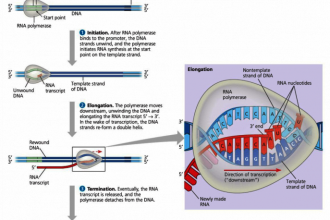 DNA transcription and translation in Cell