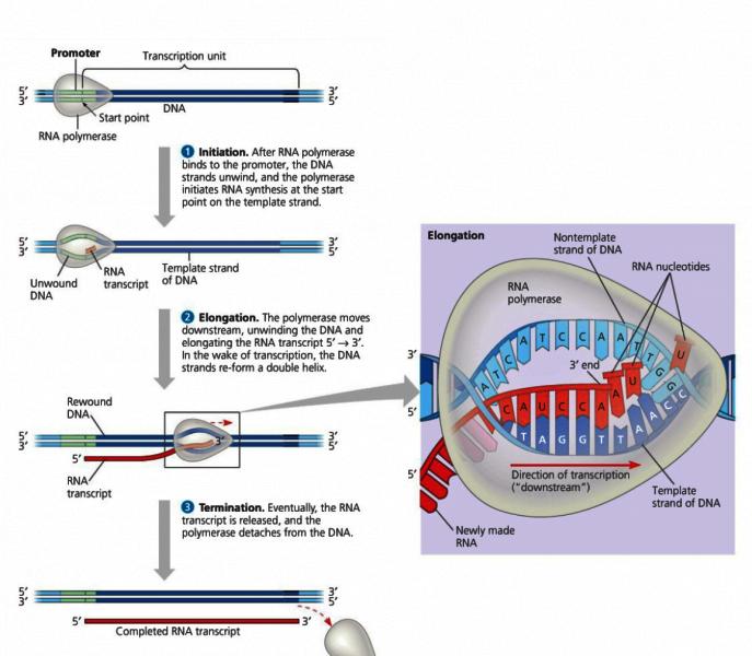 DNA transcription and translation