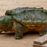 Description Alligator snapping turtle , 6 Alligator Snapping Turtle Facts In Reptiles Category