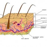 Diagram of human skin , 5 Structure Of Skin For Kids In Organ Category