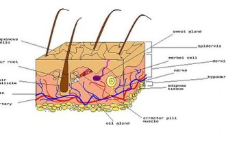 Diagram of human skin in Dog