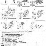 Dichotomous Keys Activity , 7 Leaf Tree Id Key Review In Plants Category