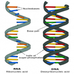 Difference DNA and RNA , 7 Rna Quiz In Cell Category