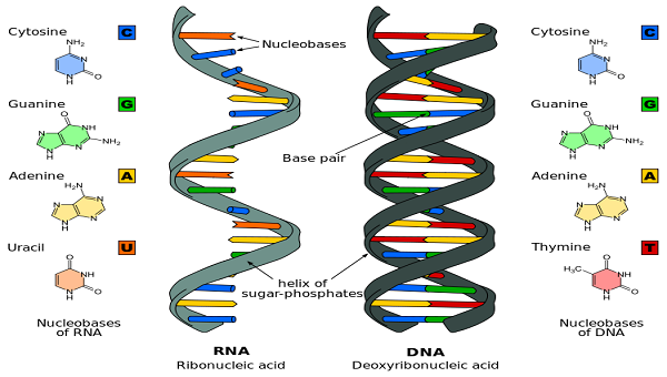 Cell , 7 Rna Quiz : Difference DNA And RNA